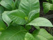 Сорт Burley Dark Strong - Nicotiana tabacum