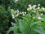Silk Leaf (Шелковый лист) Nicotiana tabacum.