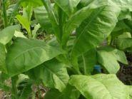 Семена табака сорта Ароматный