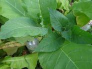 Семена табака сорта Керти