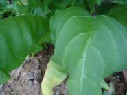 Семена табака сорта Спектр