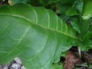 Семена табака сорта Yellow Lite Burley