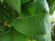 Семена табака сорта KY Italy (Берли)