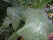 Семена табака сорта Tennessee Burley