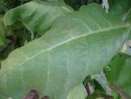 Семена табака сорта Virginia x Berley 38.(Вирджинии)