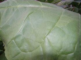Семена табака сорта Virginia Болгарская